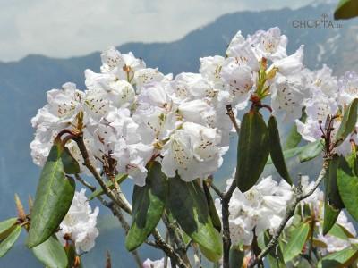 White Rhododendron Flower in Chopta Region