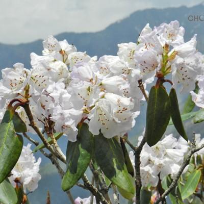 Rhododendron – Altitude Marker in Chopta