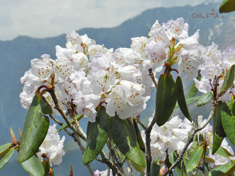 White Burans Flower in Chopta