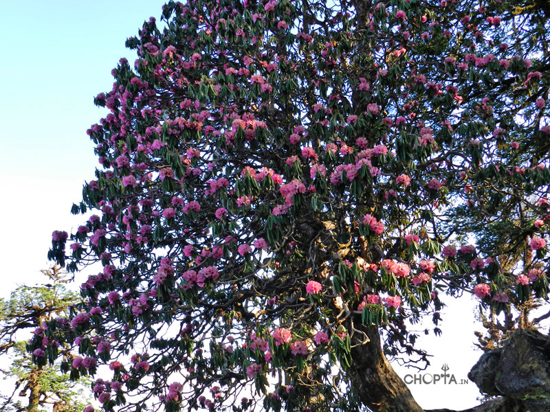Rhododendron Flower Tree in Chopta Region